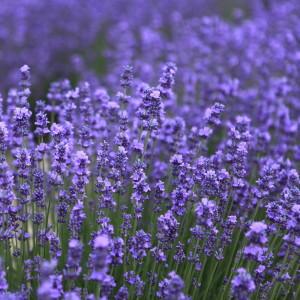 Raum für Bewusstsein - Lavendel - ätherische Öle zur Aromaölmassage